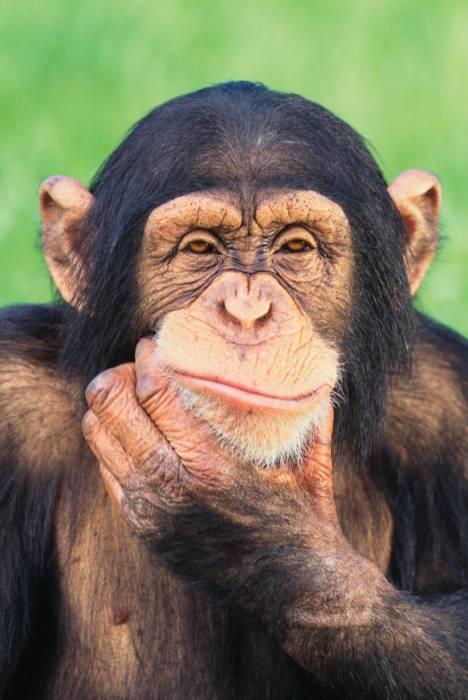 обезьяна думает